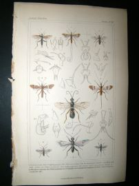 Cuvier C1835 Antique Hand Col Print. Agathis, Bracon, Microgaster, 76 Insects